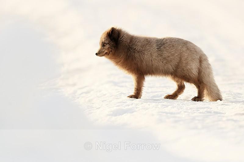 Arctic Fox (dark) standing still, Svalbard, Norway - Arctic Fox