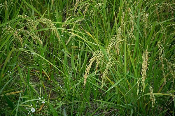08 Rice with Arrowhead Flowers - Autumn Rice