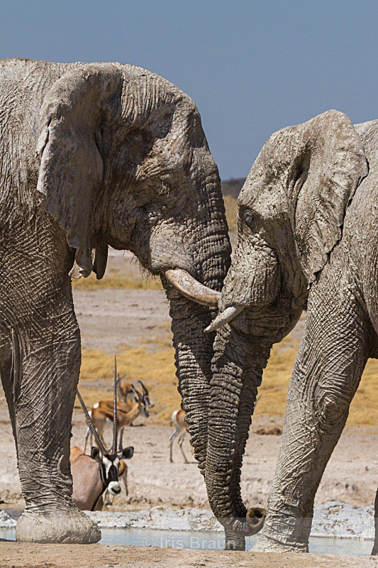 Whisper - Elephant