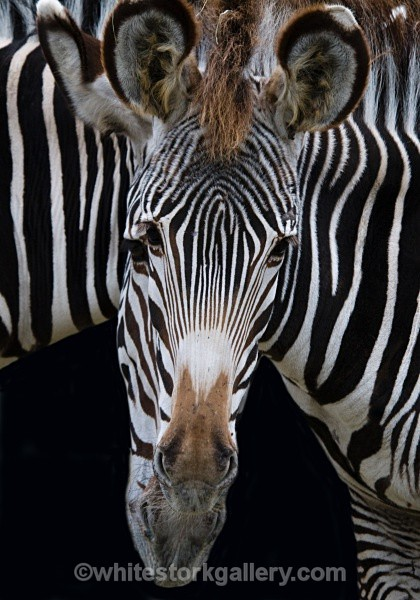 Two In One Zebra - Wildlife and Animals