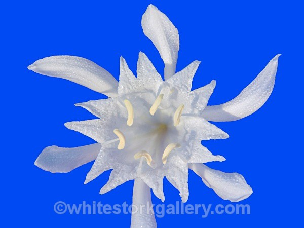 Sea Daffodil - Up Close !