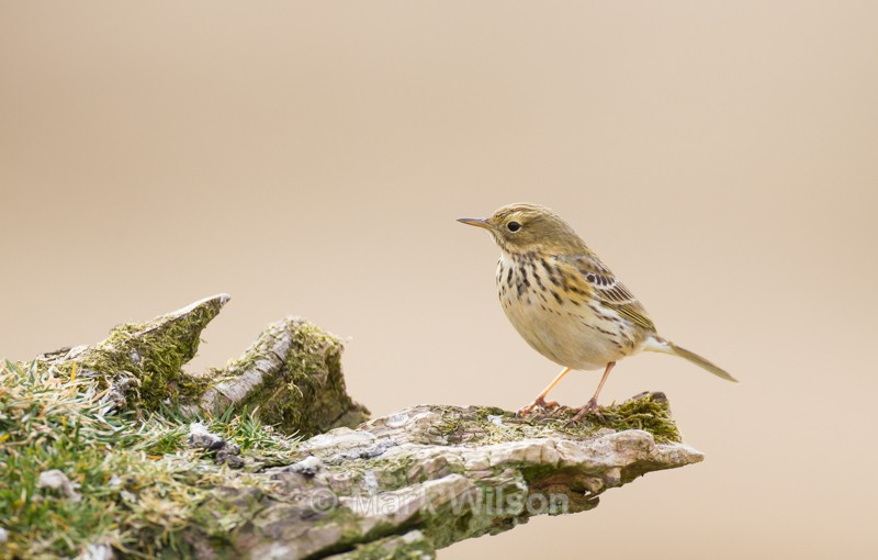 Meadow Pipit - The rest.....