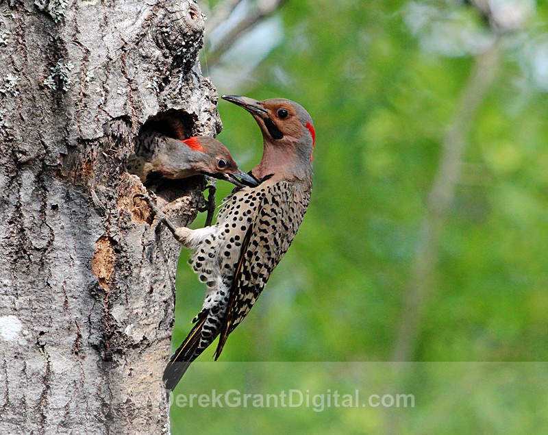 Northern Flickers Nesting - Chick bites Parent - Birds of Atlantic Canada