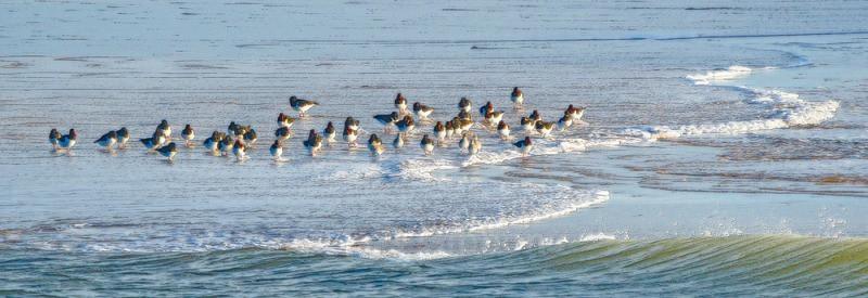 oystercatchers Alnmouth2 - Northumberland