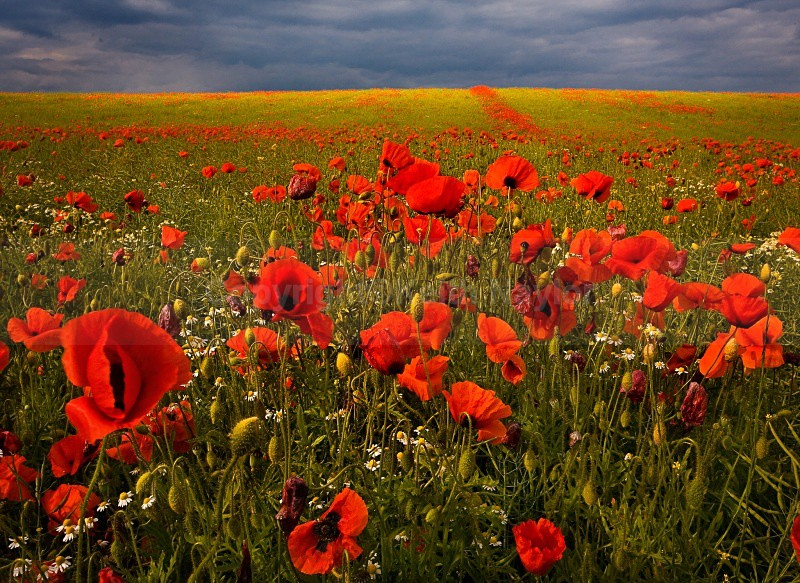 Poppy Fields - 2007
