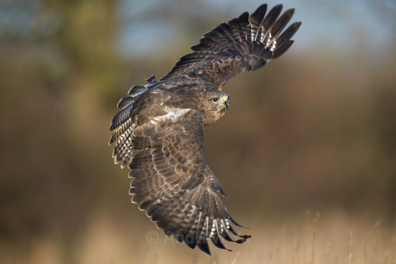 Sweeping Buzzard - Wildlife and Nature Photography
