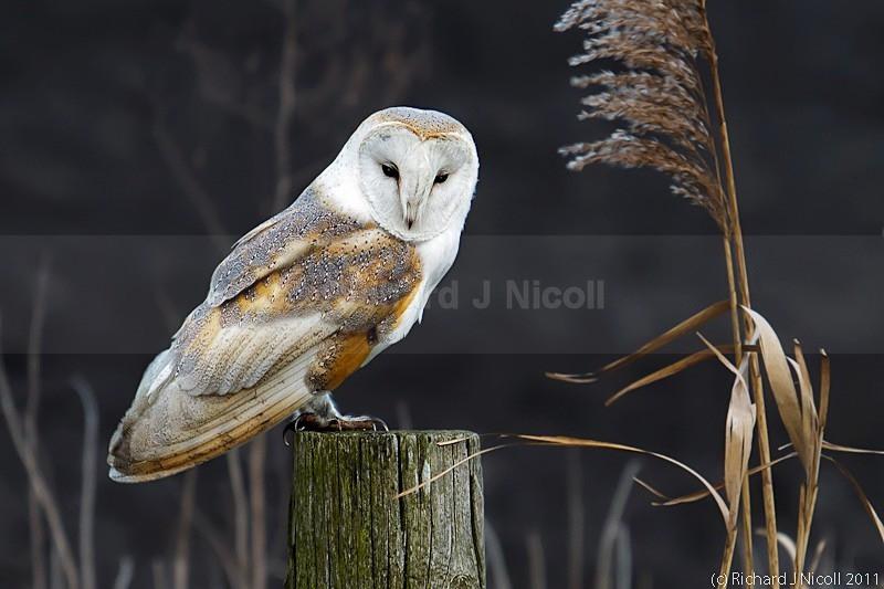 Barn Owl (Tyto Alba) - LRPS Panel