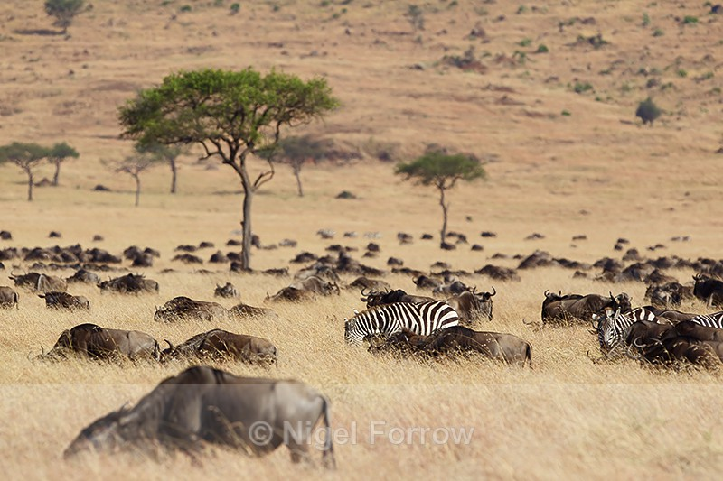 Zebra amongst a herd of Wildebeest - Zebra