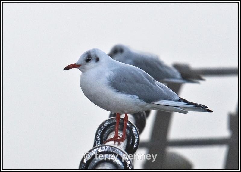 Black-headed Gull - Birds