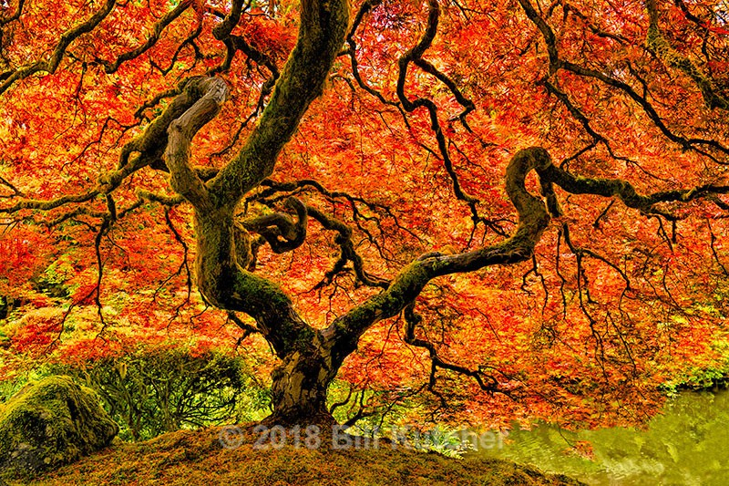 Portland Japanese Maple - Current Show