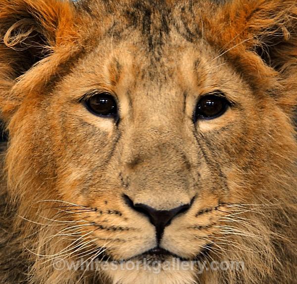 Lion Cub - Wildlife and Animals