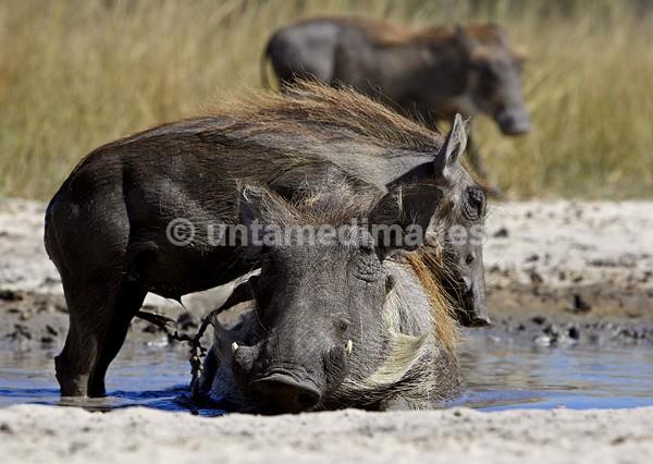 Warthog - Botswana
