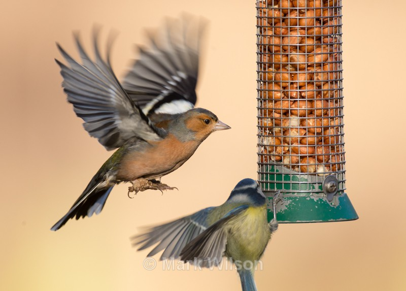 Chaffinch - On the feeders
