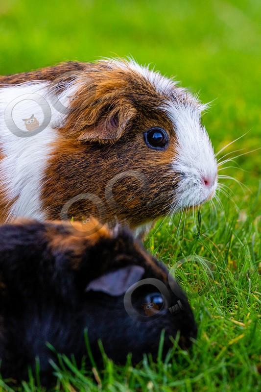 guinea pig cavia porcellus-1277 - Pet Photography