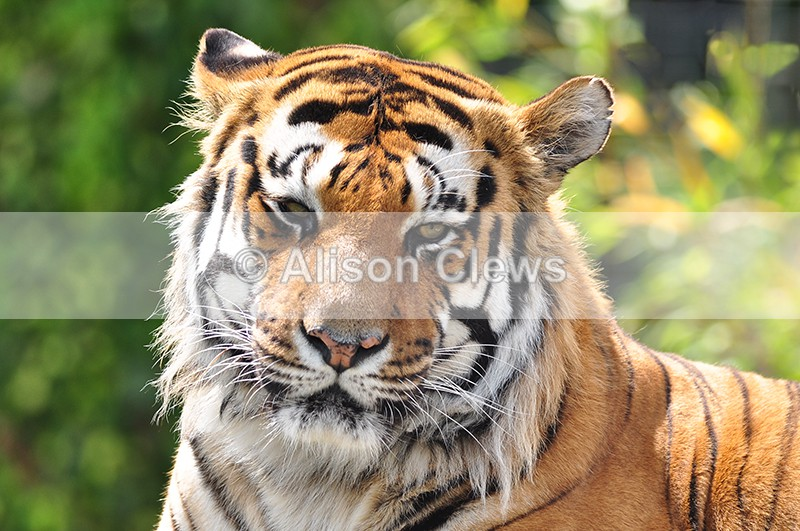 Bengal Tiger 1 - Wildlife