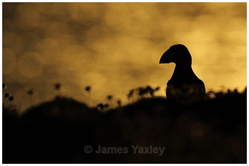 Puffin Silhouette - Puffins of Skokholm Island