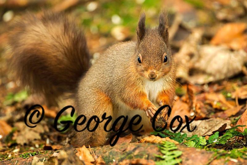 Red Squirrel - Mammals