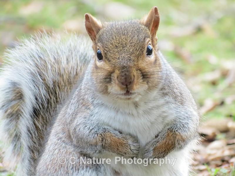 Grey Squirrel - Animals