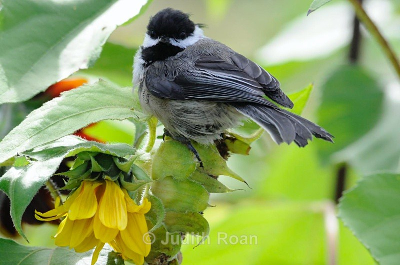 Black-capped Chickadee on sunflower - Backyard Birds of Mercer Island