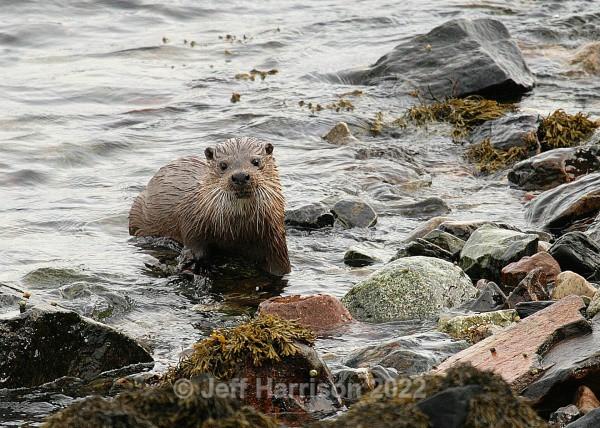 Otter (image 0t 01) - Mammals