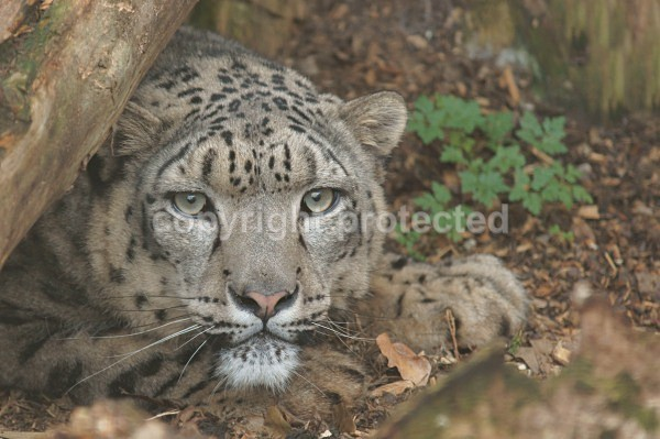Snow Leopard - Alpha - Cat Survival Trust - Big and Small Wild Cats