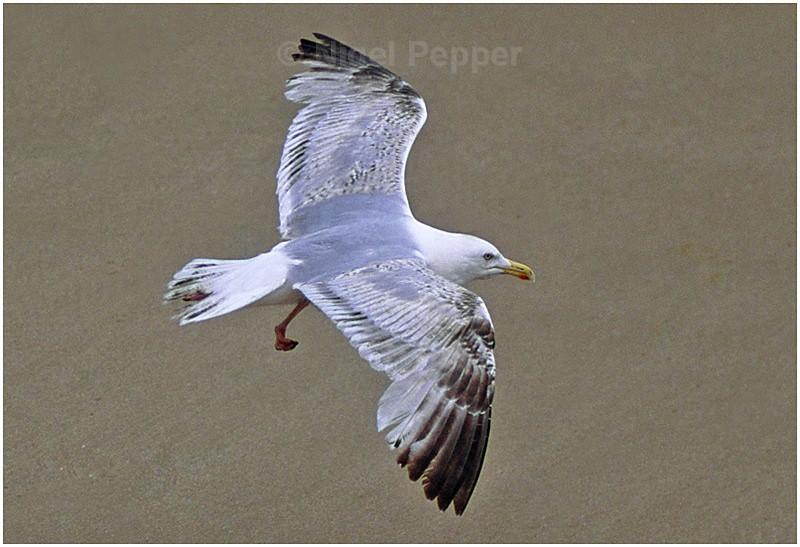 June 19th 2006 - Leggy the Herring Gull