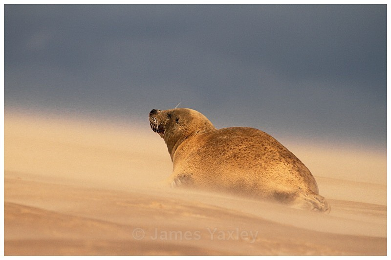 Sandstorm Seal - The British Wildlife Photography Awards 2009 to 2014
