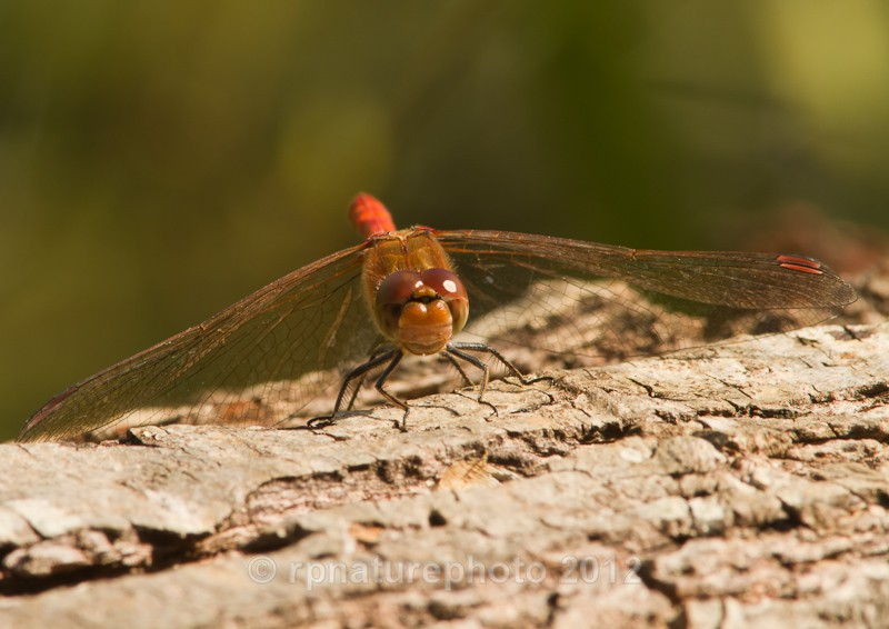 Common Darter - Sympetrum striolatum RPNP0106 - Insects & Spiders
