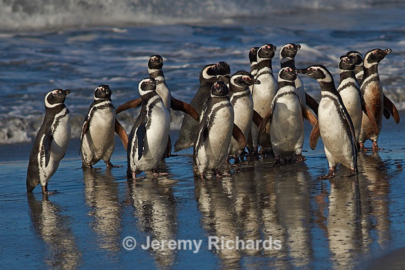 Magellanic penguins - Sea Lion Island