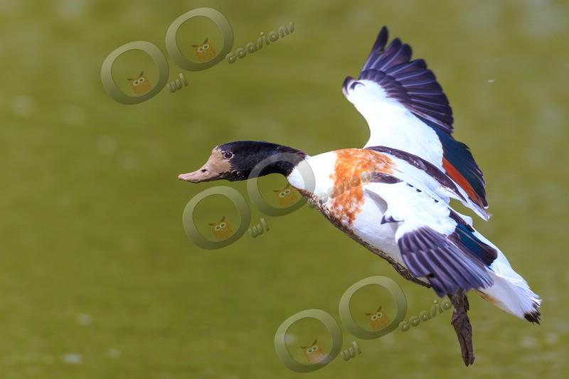 shellduck Tadorna tadorna-5573 - UK birds