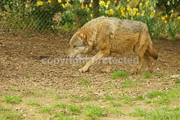 Grey Wolf - Kera roaming (Colchester Zoo) - Smaller Cats & Other Wildlife - Wolves
