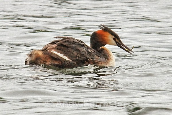 Catching Lunch - Great Crested Grebes
