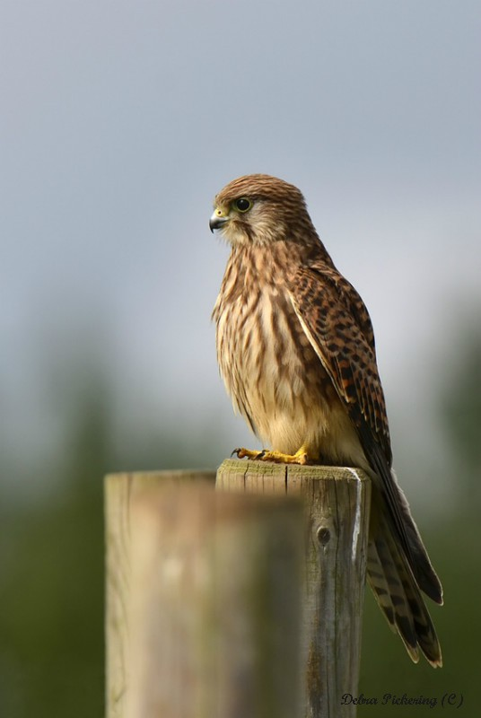 Kestrel - Birds Of Prey