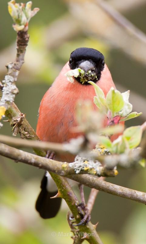 Bullfinch (M) - Garden birds