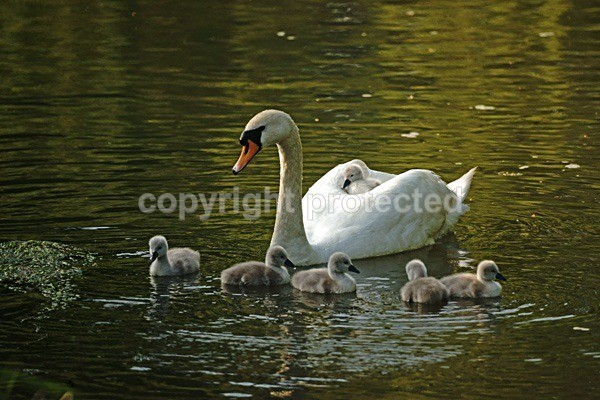 Mute Swan with Cygnets (River Witham, Lincolnshire) - British Wildlife