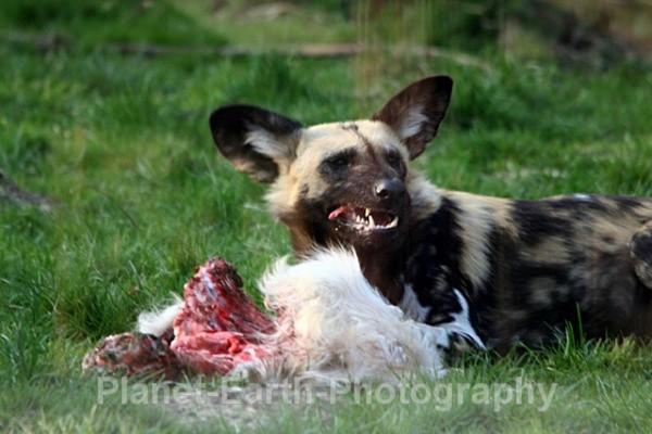 African Wild Dog 15 - African Wild Dogs