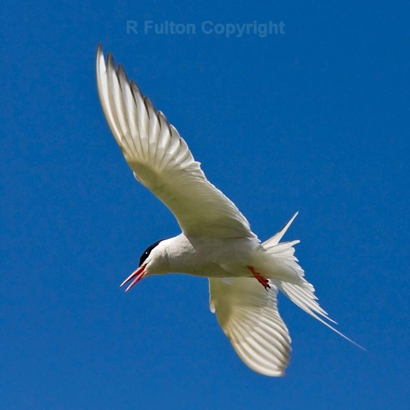 Tern - Nature