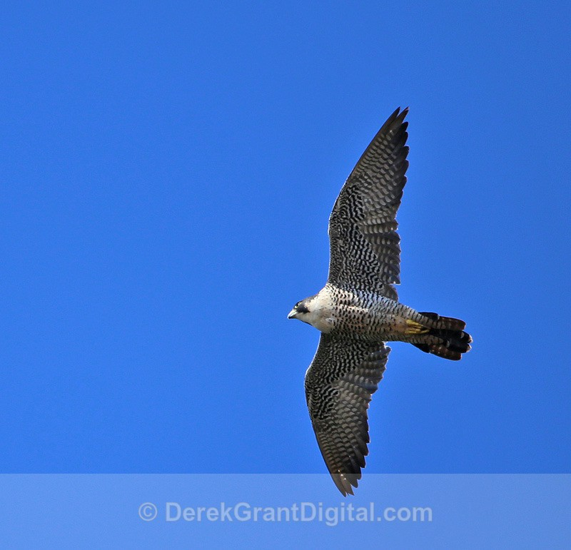 Peregrine Falcon - 1 - Birds of Atlantic Canada