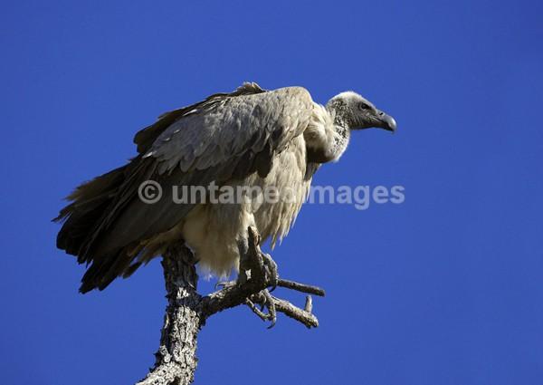 Griffon Vulture - Botswana