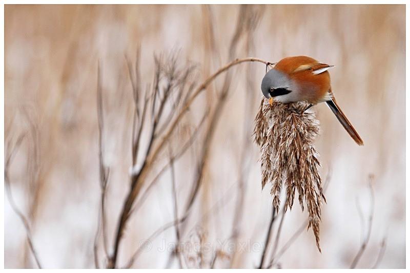 Bearded Tit Feeding on Reed - Best of British Wildlife