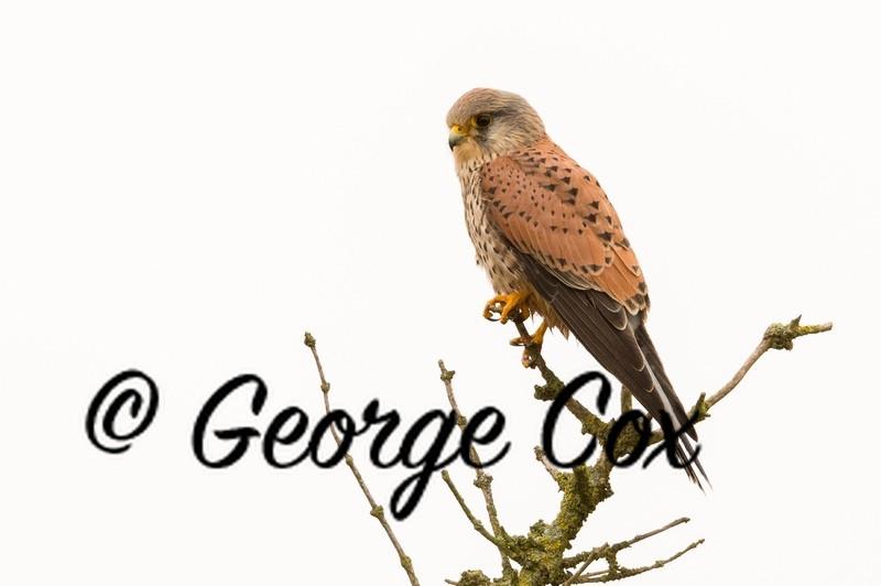 Kestrel at Attenborough - Attenborough Nature Reserve