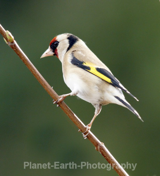 Goldfinch 6 - UK Wildlife