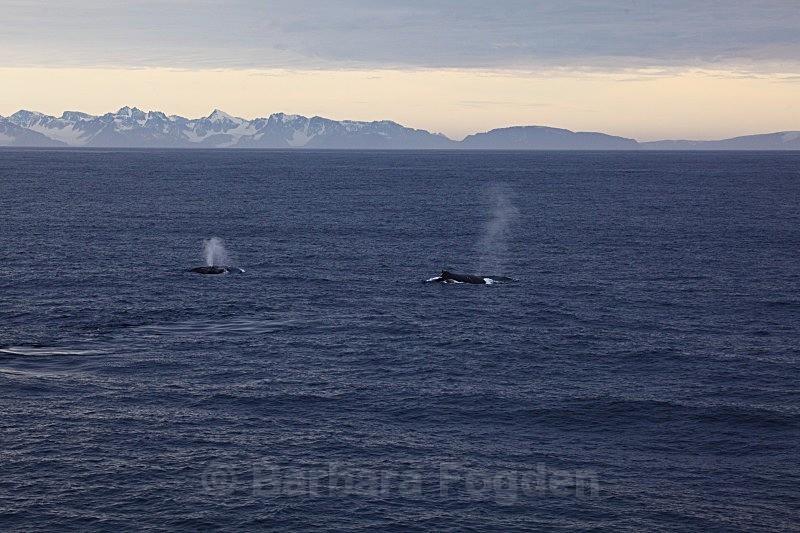 Humpback Whale 8768 - Wildlife