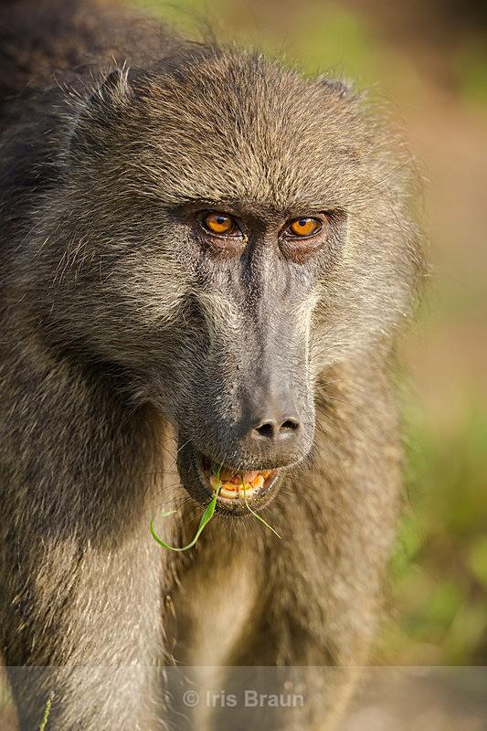 The Face - Baboon