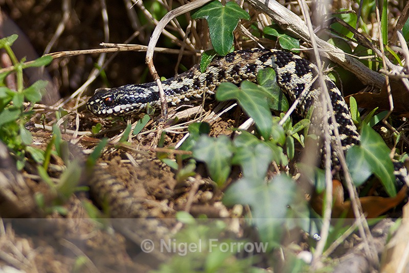 Adder basking in the sun above Tilly Whim Caves - REPTILES & AMPHIBIANS