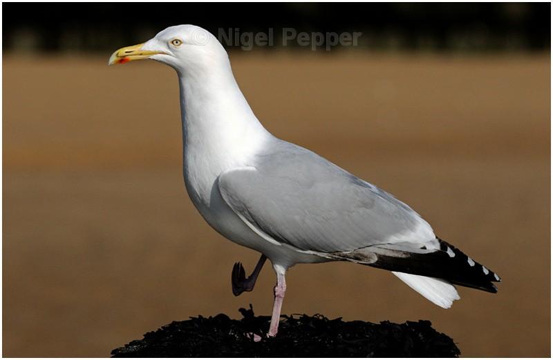 March 2nd 2009 ( 2 ) - Leggy the Herring Gull