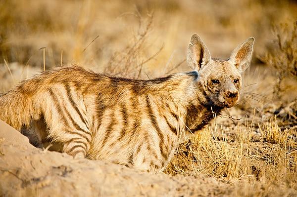 Striped Hyaena, Shaba National Reserve, Kenya