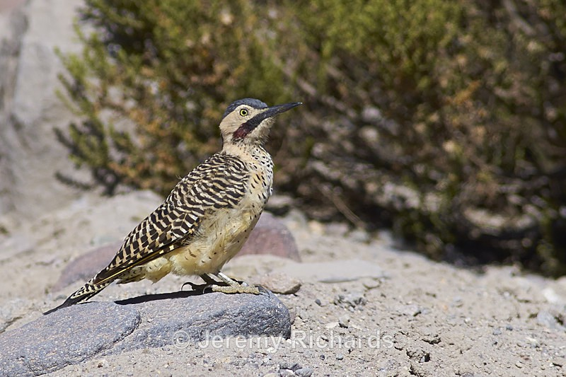 Woodpecker on the Altiplano - Wildlife of Chile