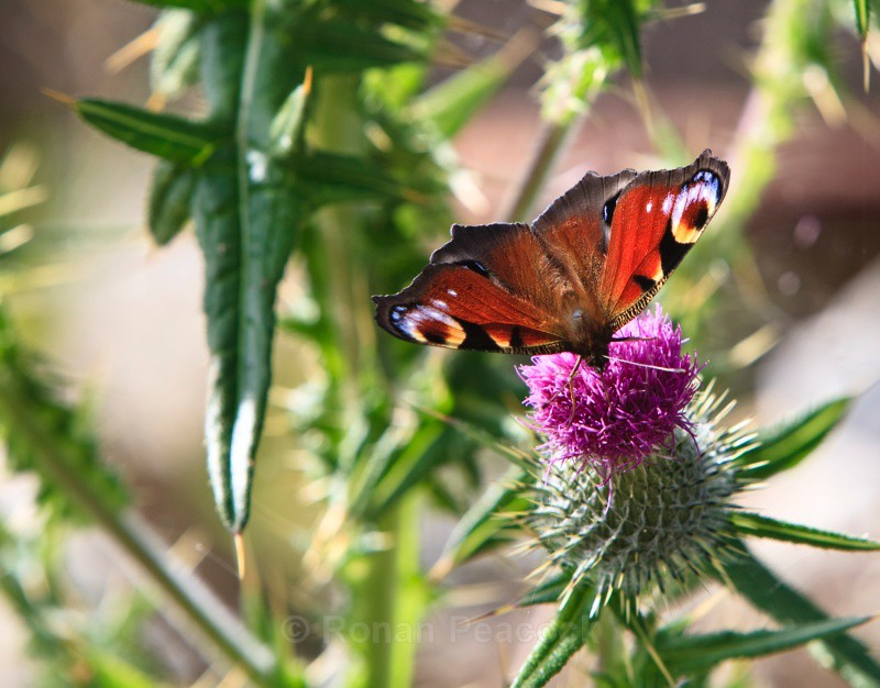 Peacock butterfly - Nature