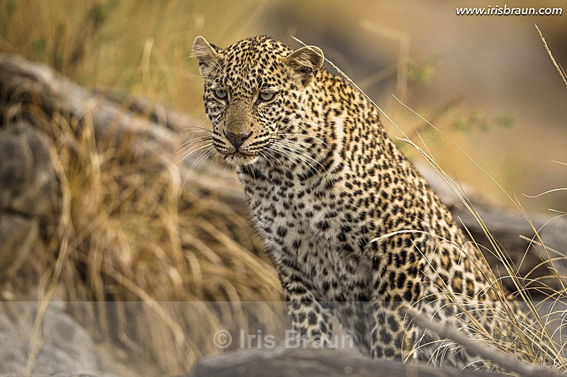 Leopard on a Mission - Leopard